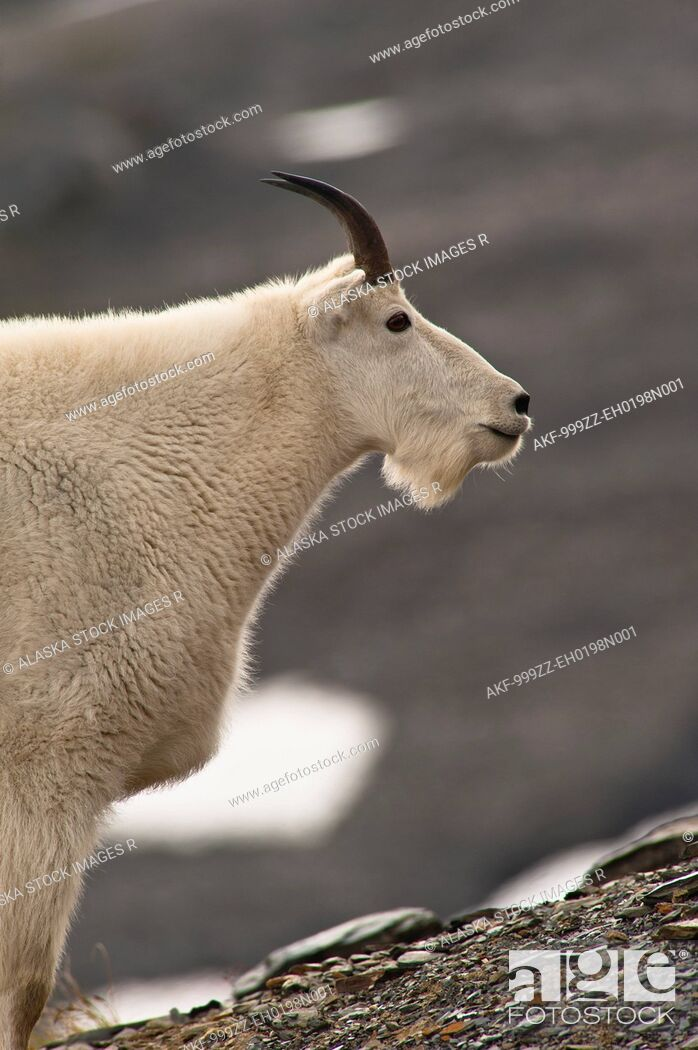 Stock Photo: Profile of a young Mountain goat billy grazing on plants near the Harding Icefield Trail at Exit Glacier in Kenai Fjords National Park in Southcentral Alaska.