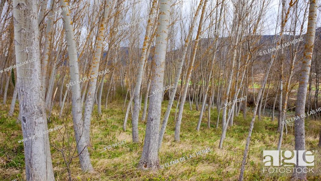 Stock Photo: Poplar trees. Burgos. Spain.