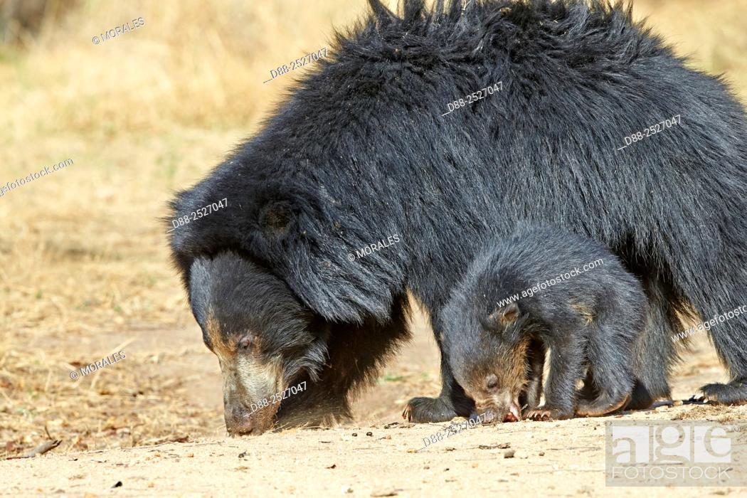Stock Photo: Asia, India, Karnataka, Sandur Mountain Range, Sloth bear Melursus ursinus, mother with baby, mother carrying babies on the back.