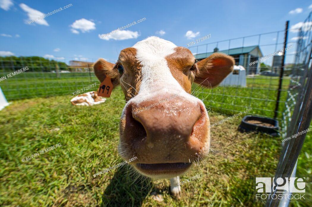 Stock Photo: Young calf on a dairy farm.