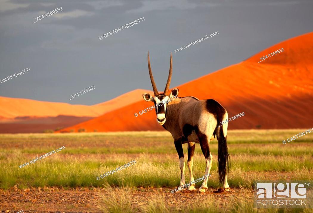 Stock Photo: Gemsbok Oryx gazella, in the desert, Namib-Naukluft National Park, Namib desert, Namibia.