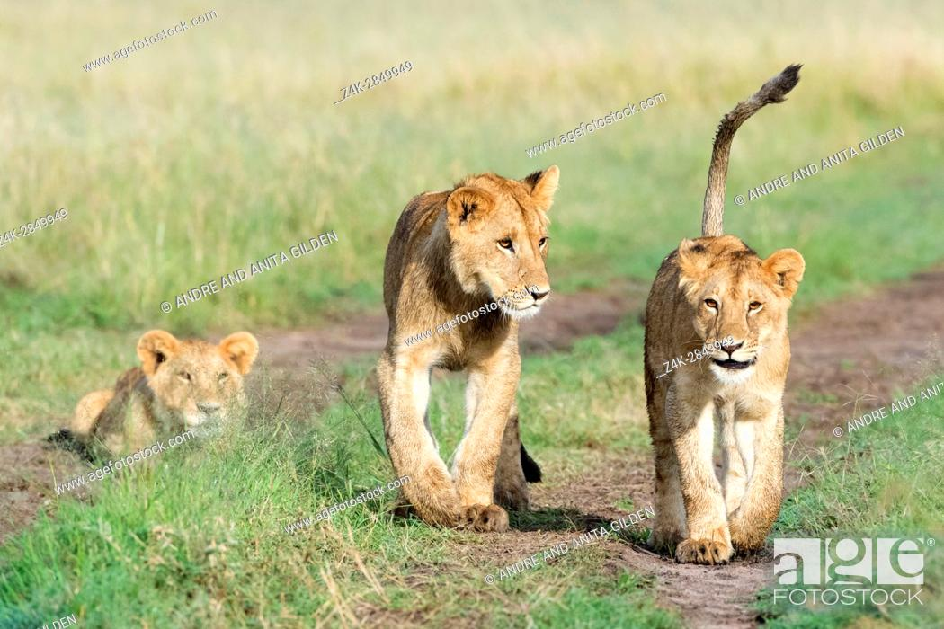 Imagen: Young lions (Panthera leo) playing together, Maasai Mara national reserve, Kenya.