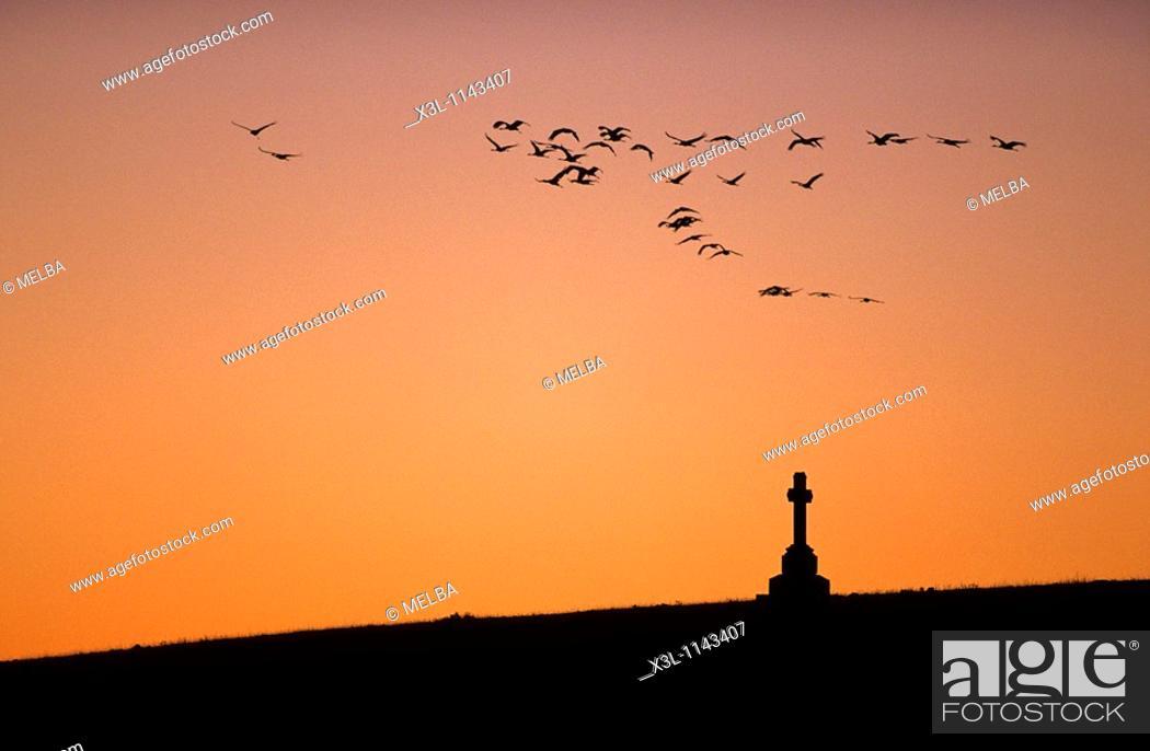 Stock Photo: Flock of Common cranesGrus grus in migration flying at dusk Gallocanta Teruel Aragon Spain European bird.