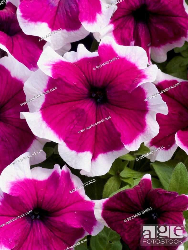 Stock Photo: Burgundy improved Hulahoop Petunia.