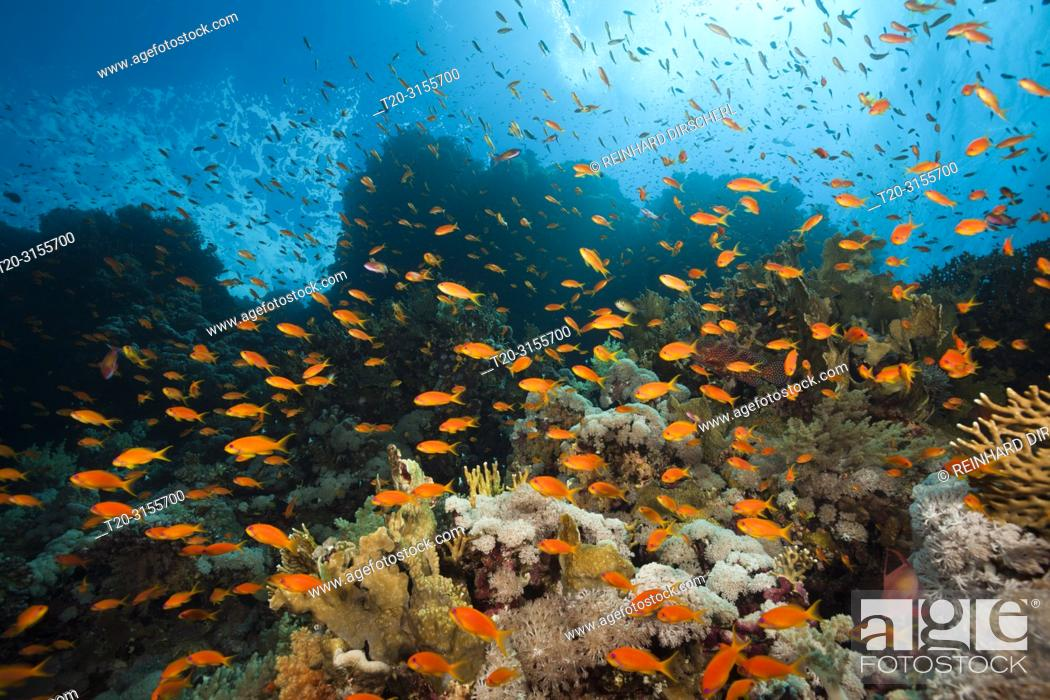 Stock Photo: Lyretail Anthias over Coral Reef, Pseudanthias squamipinnis, Brother Islands, Red Sea, Egypt.