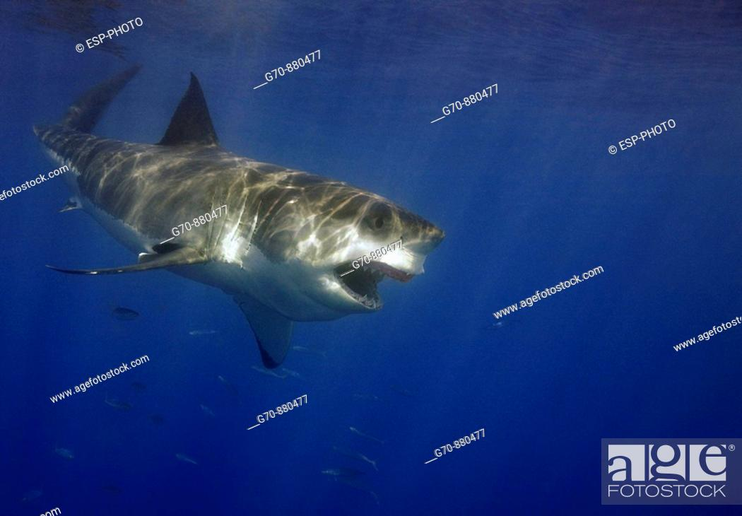 Stock Photo: Great White Shark Carcharodon carcharias.