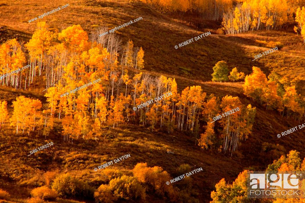 Stock Photo: Aspens reach their fall color peak in the San Juan Mountain range in early October.