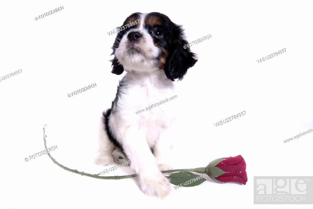 Stock Photo: canines, animal, domestic, cocker spaniel, dog, pet.