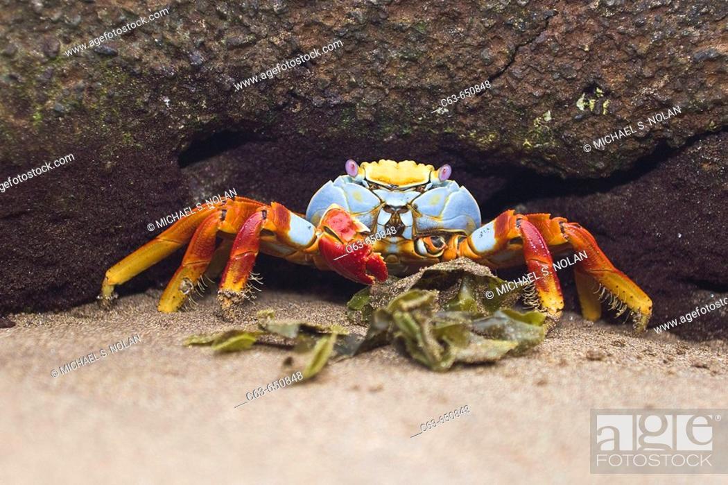 Stock Photo: Sally lightfoot crab (Grapsus grapsus) in the litoral of the Galapagos Island Archipelago, Ecuador.