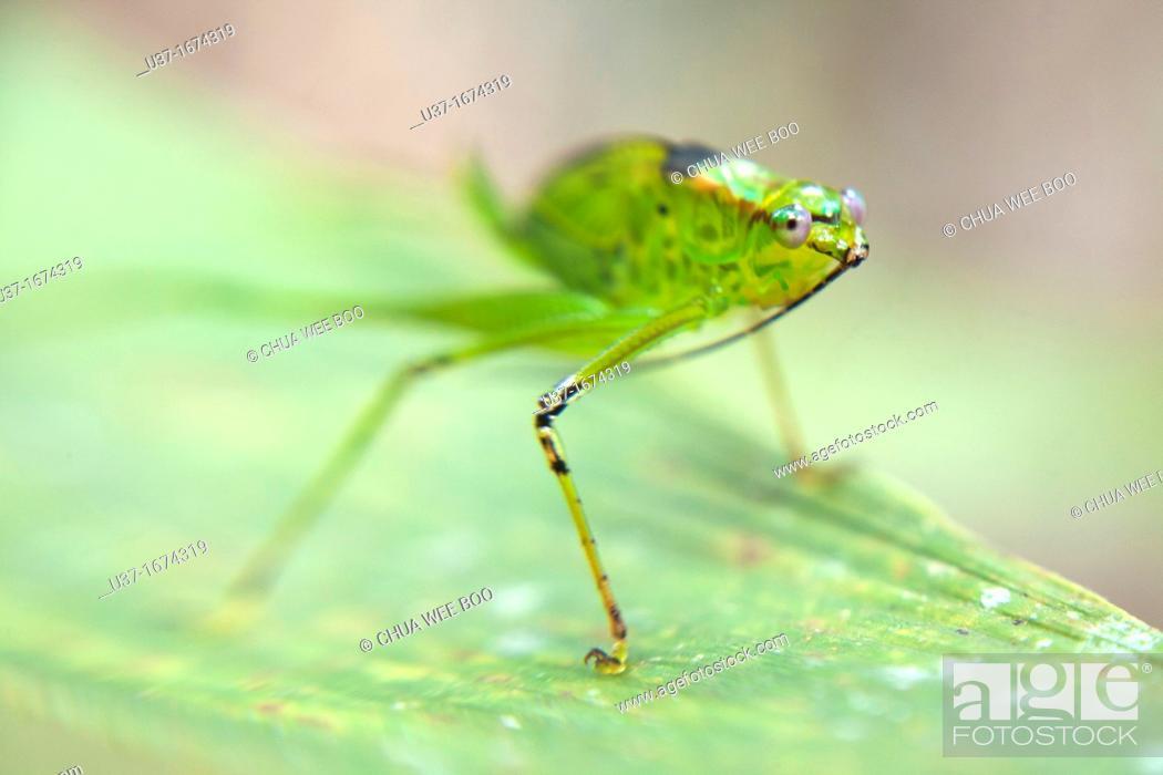 Stock Photo: A green katydid.