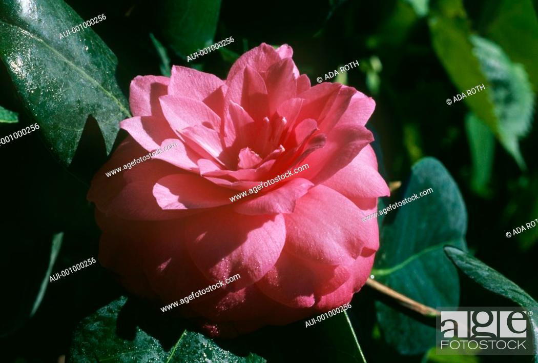 Stock Photo: Camellia - pink - sophisticated - refined - elegant -.