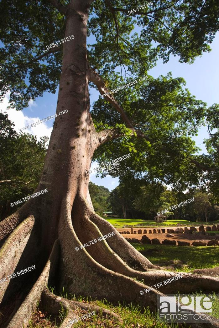Stock Photo: Puerto Rico, North Coast, Karst Country, Utuado, Parque Ceremonial Indigena de Caguana, tree at ancient Taino people's ceremonial site.