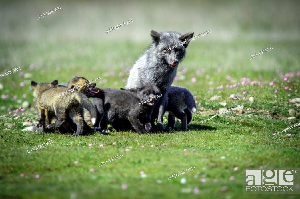 Stock Photo: The cross fox family (Vulpes vulpes).San Juan Island, USA.
