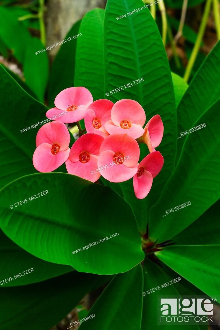 Stock Photo: A blooming Asian euphorbia plant.