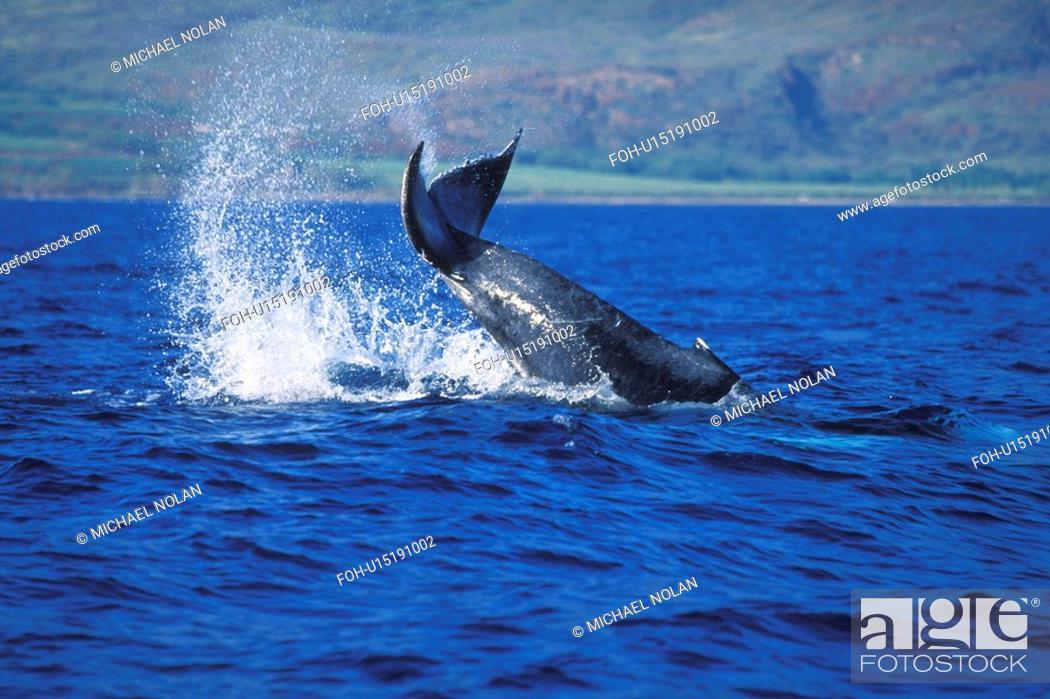Stock Photo: Humpback Whale Megaptera novaeangliae Calf tail-lobbing AuAu Channel, Maui, Hawaii, USA. Pacific Ocean.