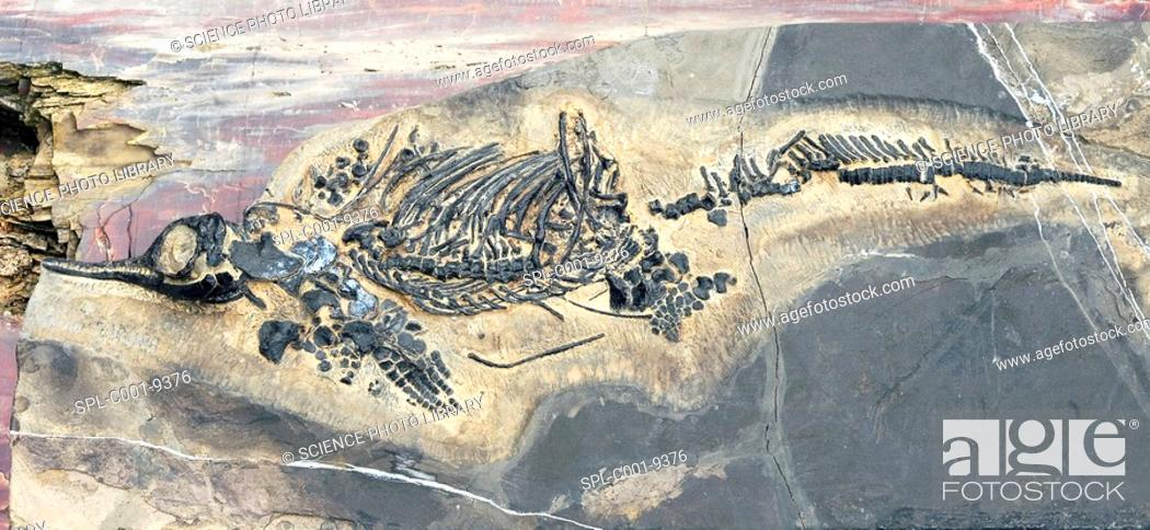 Stock Photo: Ichthyosaur fossil. This is a fossil of Mixosaurus, a small ichthyosaur marine reptile. This specimen which is 65 centimetres long dates from the Triassic.