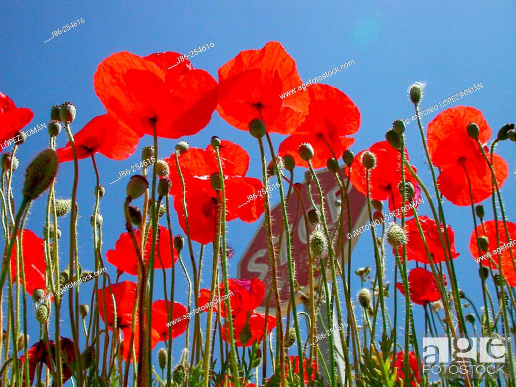 Stock Photo: Flanders Poppies (Papaver rhoeas).