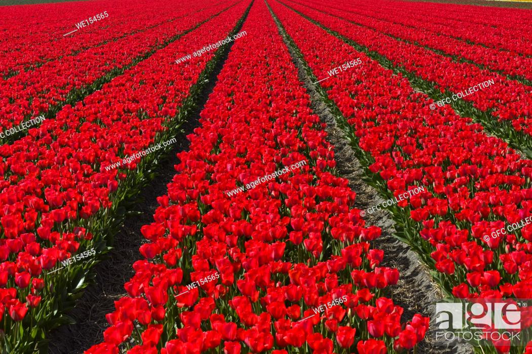 Photo de stock: Field with red tulips in the area of Bollenstreek, Noordwijkerhout, Netherlands.