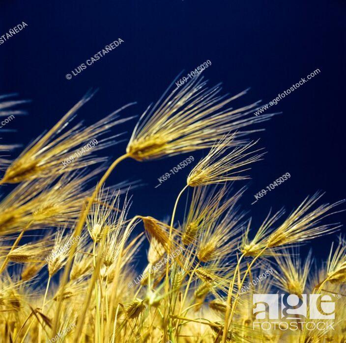 Stock Photo: Barley.