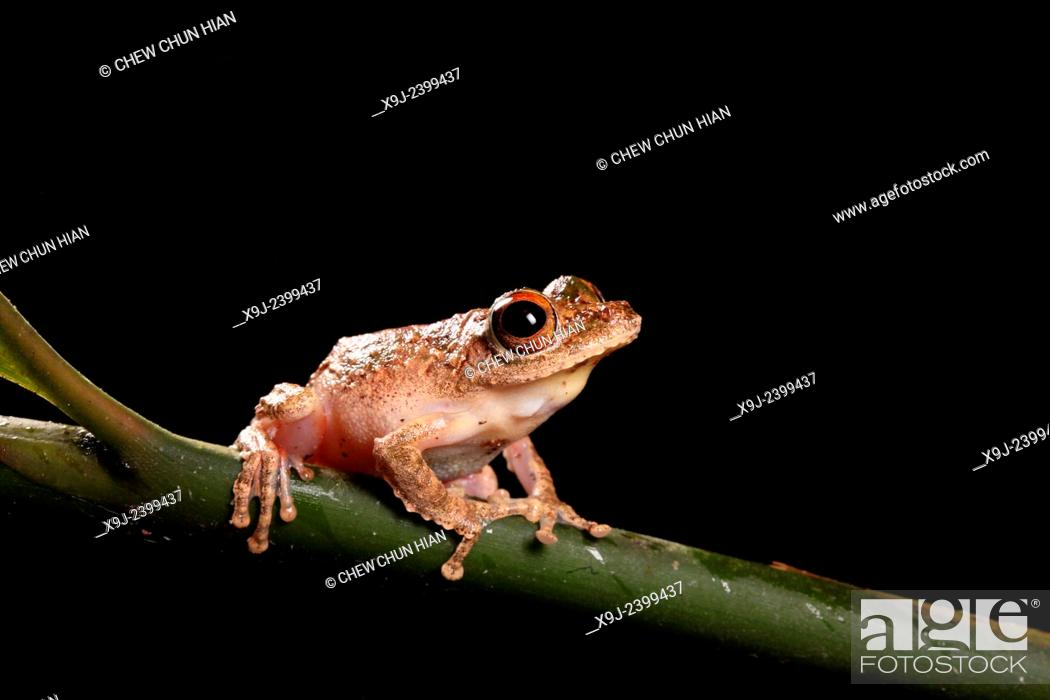 Stock Photo: Frog of borneo, Tree Frog, Phacophorus pardalis, national park, sarawak.