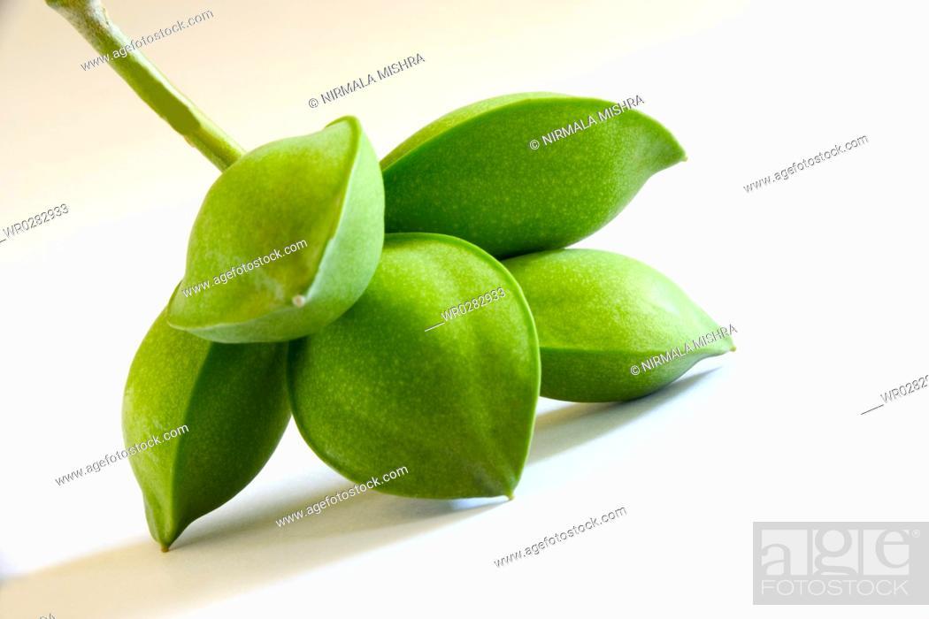 Fruit five green eye shaped almond badam Prunus dulcis on white