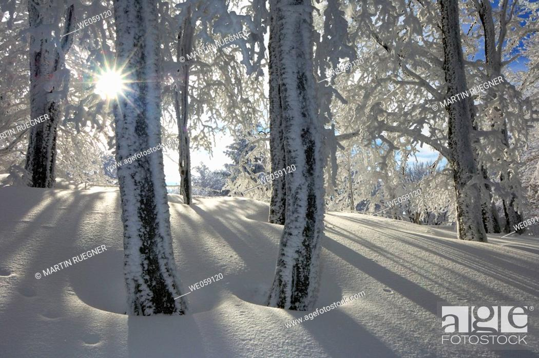 Stock Photo: Snow covered trees in forest with sun as a back-lighting. Black Forest, Baden-Wuerttemberg (Baden-Wurttemberg), Germany, Europe.