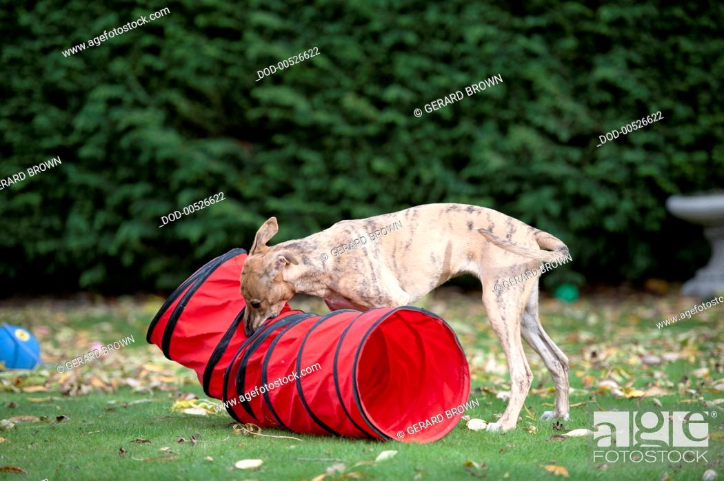Imagen: Whippet smelling fabric tunnel.