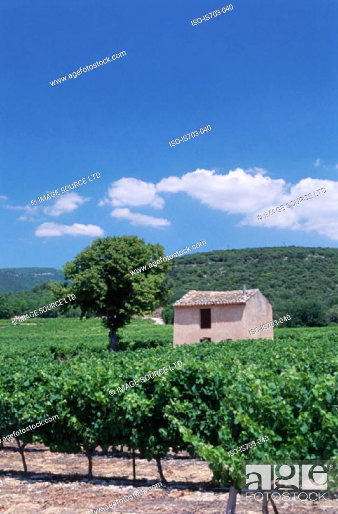 Stock Photo: Vineyard in the Luberon.