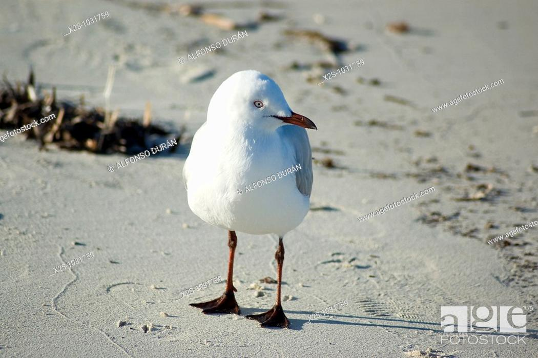 Stock Photo: Seagull, Rottnest Island, Western Australia, Australia.