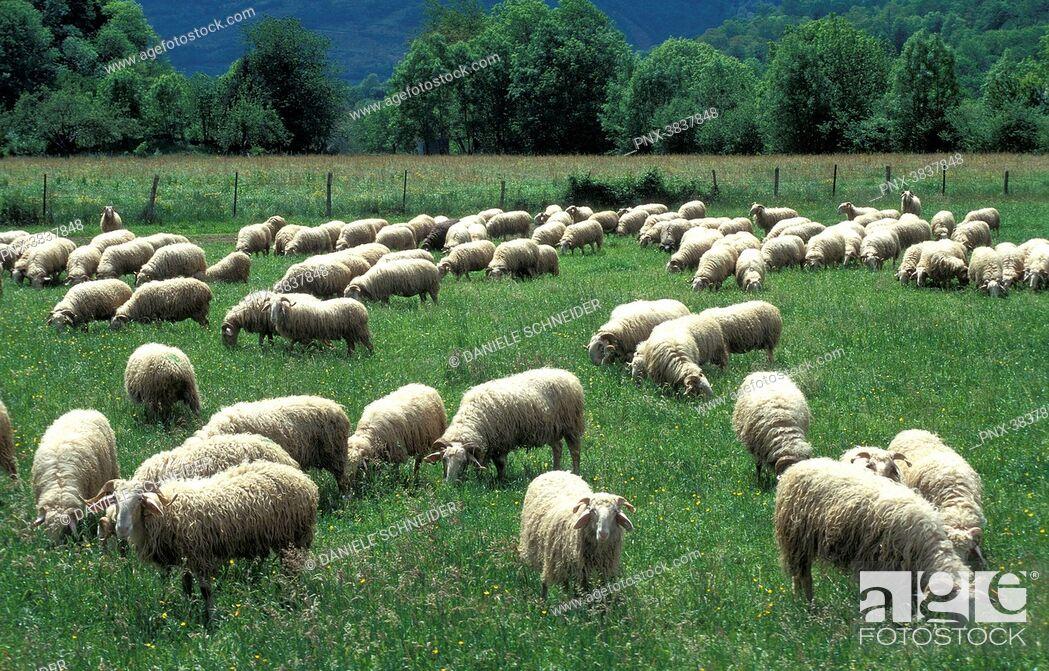 Imagen: Pyrenees National Park, Pyrenees-Atlantiques, vallee d'Osseau, ewe flock on the plateau du Benou.