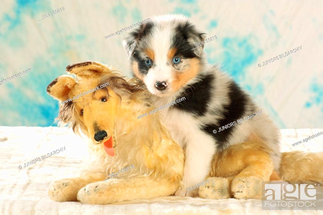 Australian Shepherd Dog Puppy Sitting On Cuddly Toy Stock Photo Picture And Rights Managed Image Pic Ssj 155819 Agefotostock