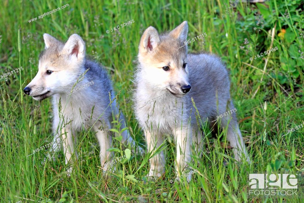 Stock Photo: Gray Wolf,Canis lupus,Montana,USA,North America,two youngs eight weeks old.