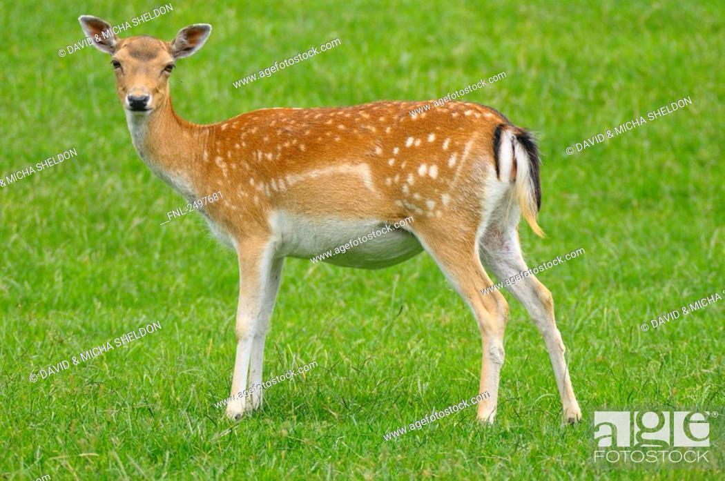 Stock Photo: Fallow deer Cervus dama buck standing in field.