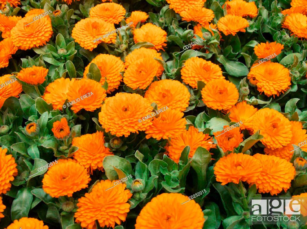 Stock Photo: Marigolds (Calendula officinalis).