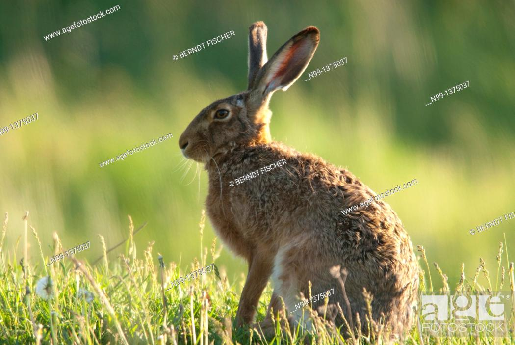 Stock Photo: European brown hare Lepus capensis europaeus, sitting in grassland, spring, Hungary.
