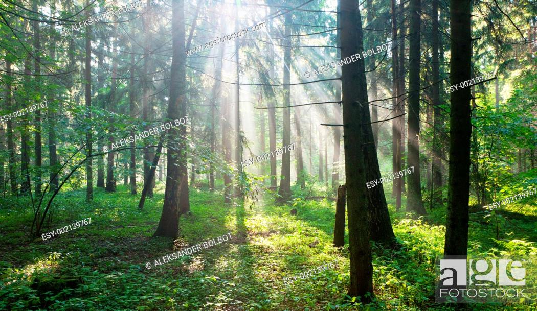 Stock Photo: Sunbeam entering hornbeam deciduous forest, Bialowieza Forest, Podlasie Province, Poland.