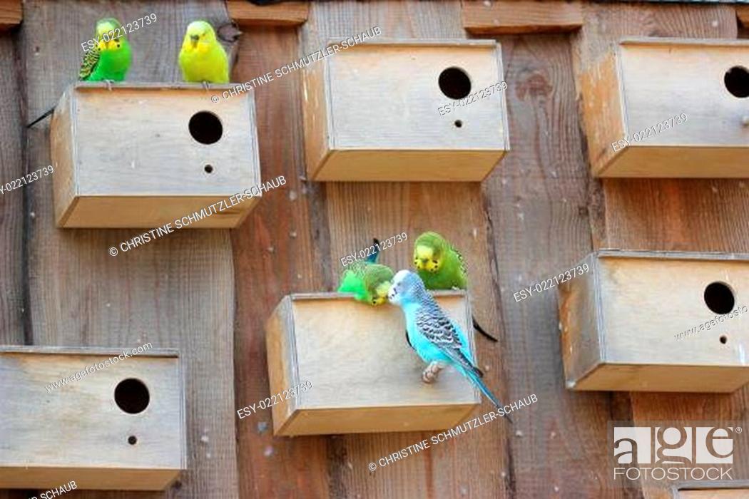 Stock Photo: Wellensittichpaare mit Eigenheimen.