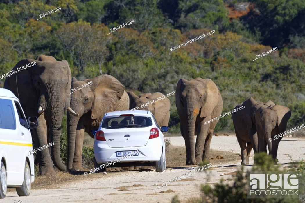 Stock Photo: African bush elephants (Loxodonta africana), herd with calves walking, tourist cars stopped on the side of a dirt road, Addo Elephant National Park.