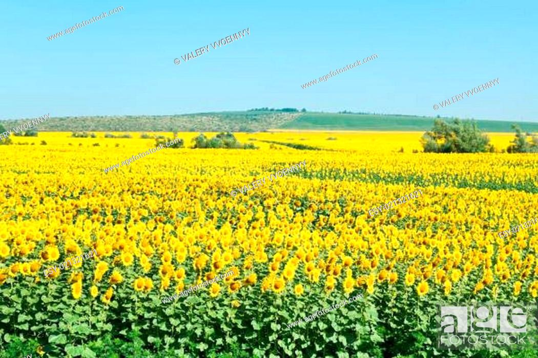 Stock Photo: sunflower fields in hills of the Caucasus.