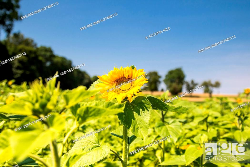 Stock Photo: Sunflowers at Feldmark near Dransfeld, Samtgemeinde Dransfeld, Göttingen District, Lower Saxony, Germany, summer 2017 / Sonnenblumenfeld in der Feldmark bei.