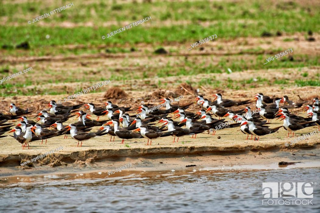 Stock Photo: swarm African skimmer, Rynchops flavirostris, Murchison Falls National Park, Uganda, Africa - Uganda, 10/02/2015.