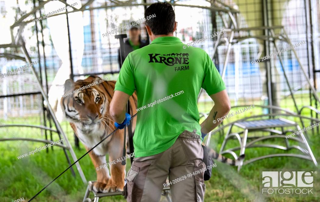 Stock Photo: 29 June 2020, Bavaria, Weßling: Alexander Lacey trains with a tiger in his enclosure during a press tour on the Circus Krone Farm.