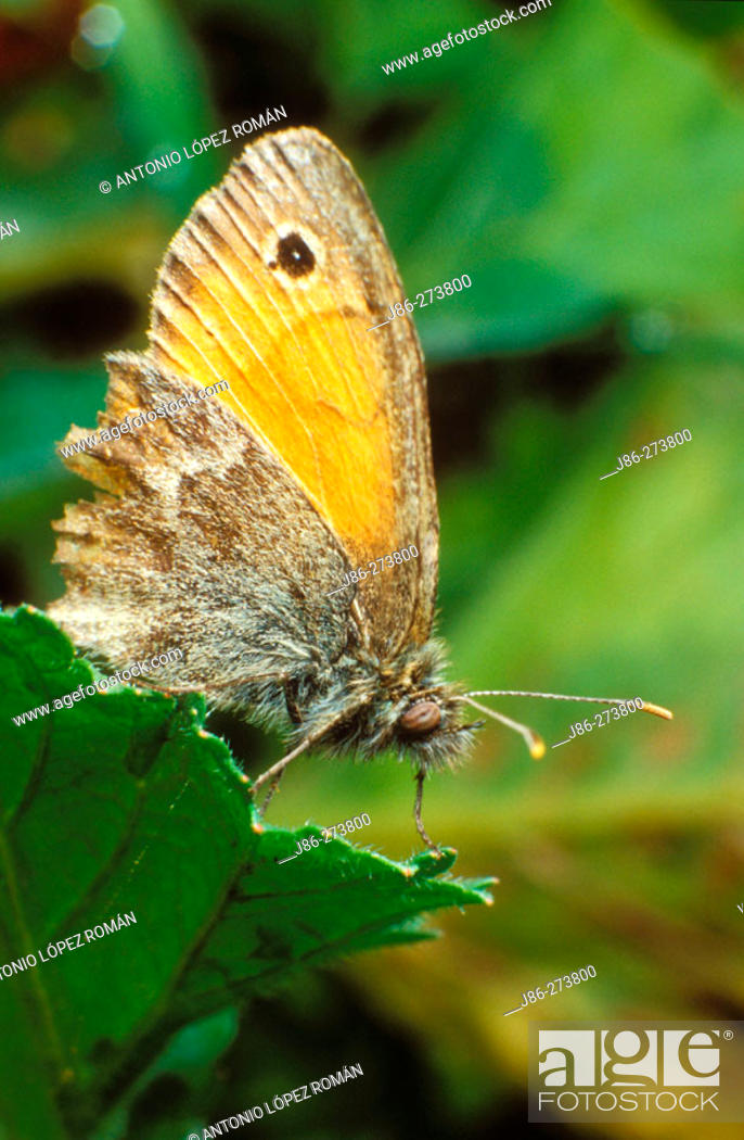 Stock Photo: Meadow brown butterfly (Maniola jurtina).