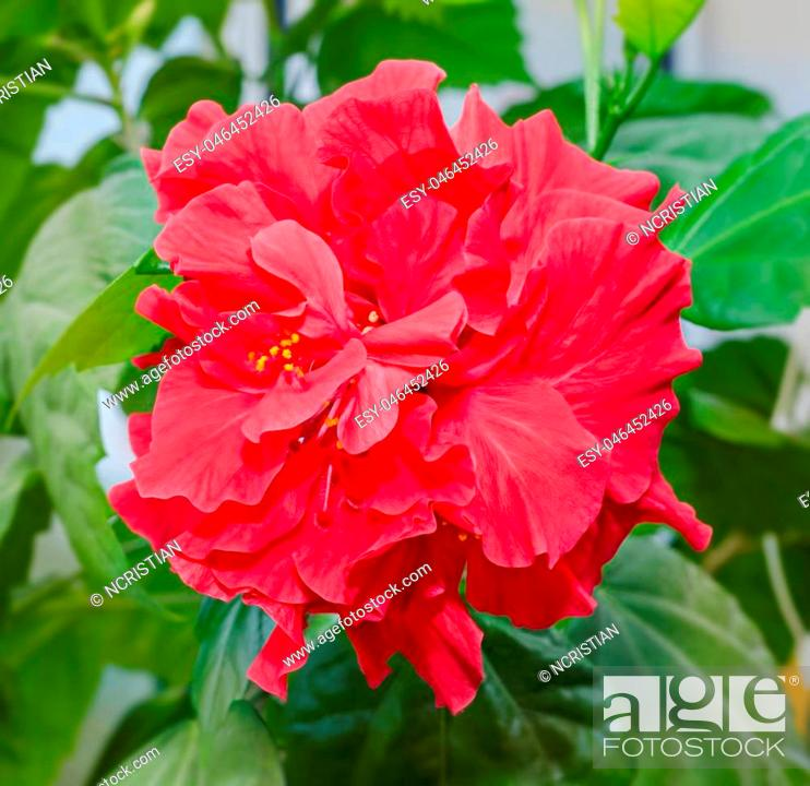 Stock Photo: Hibiscus rosa-sinensis red flower, known as Chinese hibiscus, China rose, Hawaiian hibiscus, shoeblackplant.