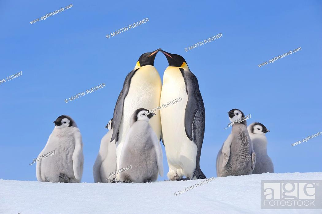 Stock Photo: Emperor Penguin Aptenodytes forsteri group with adults and chicks  Snow Hill Island, Antarctic Peninsula, Antarctica.