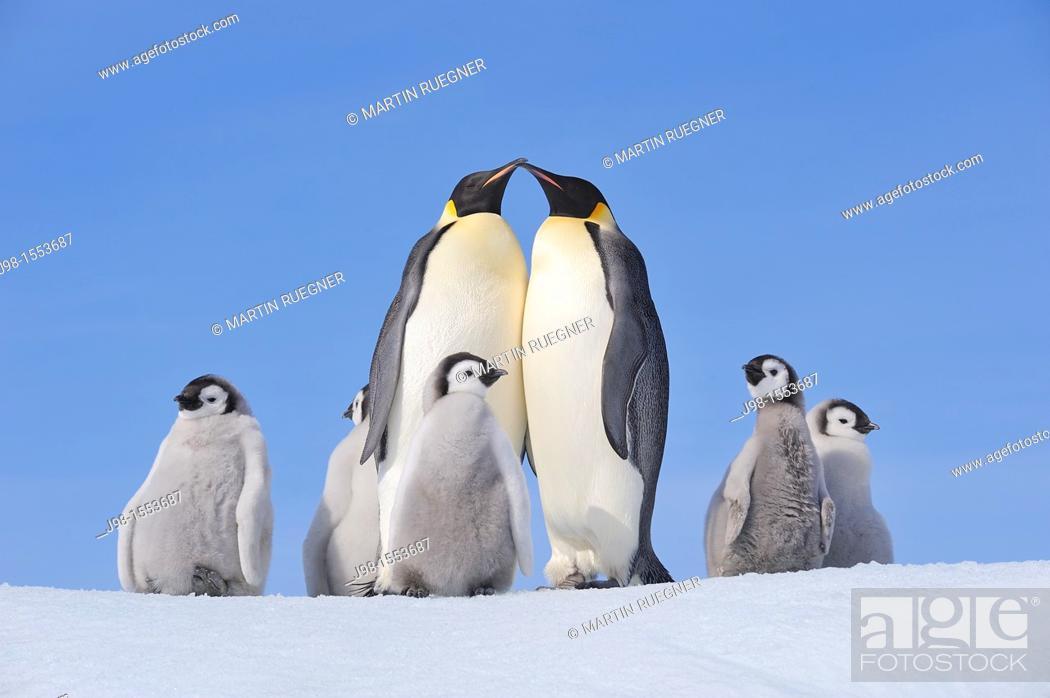 Stock Photo: Emperor Penguin Aptenodytes forsteri group with adults and chicks  Snow Hill Island, Antarctic Peninsula, Antarctica.