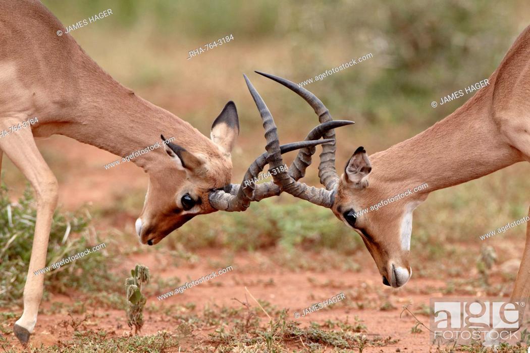 Imagen: Two impala Aepyceros melampus bucks sparring, Imfolozi Game Reserve, South Africa, Africa.