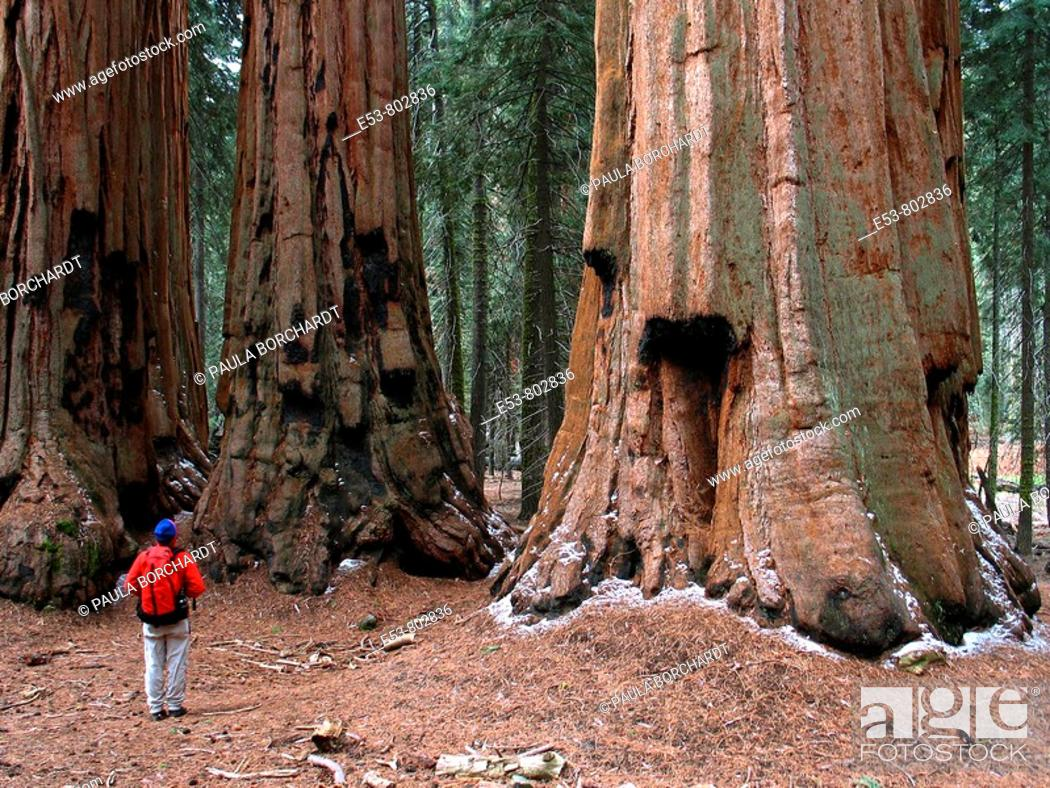 Stock Photo: Hiker looking at 'The House' group of giant sequoias, Congress Trail, Giant Forest area of Sequoia National Park, California, USA.