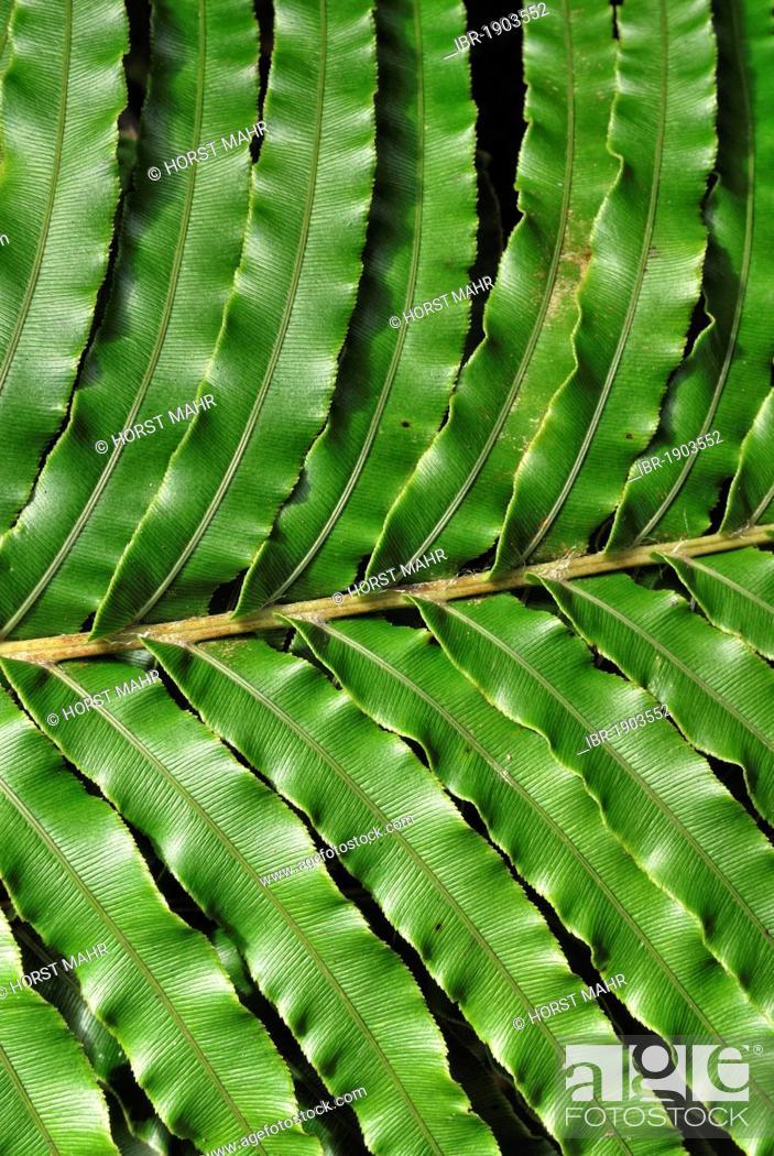 Stock Photo: Kio kio fern (Blechnum novae-zelandiae), Rapaura Watergardens, Tapu, Coromandel Peninsula, North Island, New Zealand.