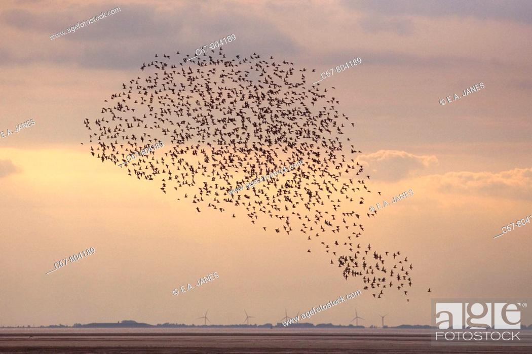 Stock Photo: Knot Flock in flight The Wash Norfolk UK.